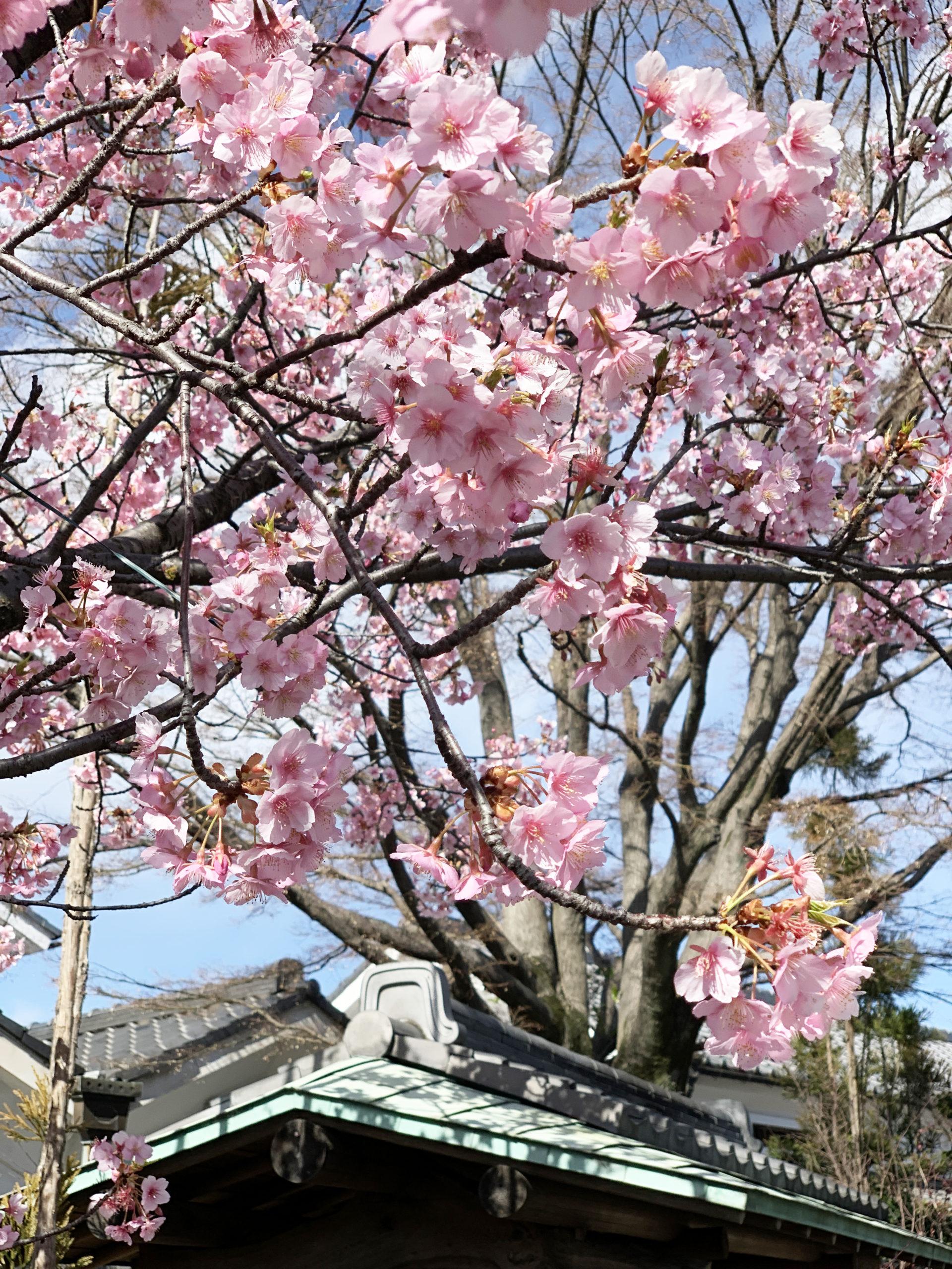 いも膳の河津桜